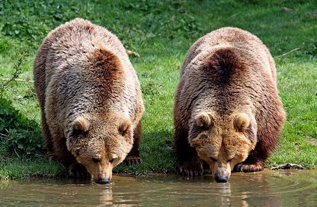 poze-ursi-bruni-coca-cola