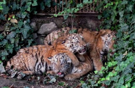 pui tigru