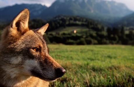 Eurasian Wolf, Canis lupus, Transsylvania, Romania, captive animal