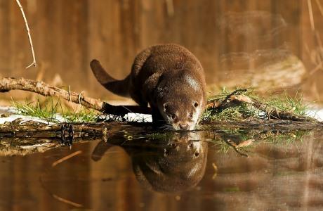 European otter (Lutra lutra), National Park of Abruzzo, Lazio and Molise, Italy