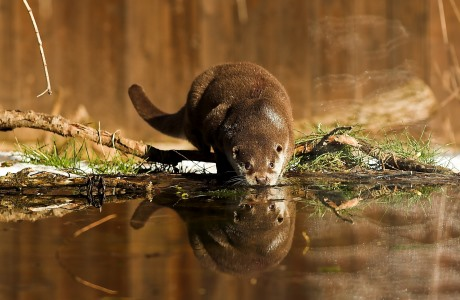 European otter (Lutra lutra), National Park of Abruzzo, Lazio and Molise, Italy