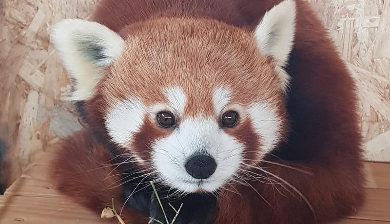 panda rosu_brasov