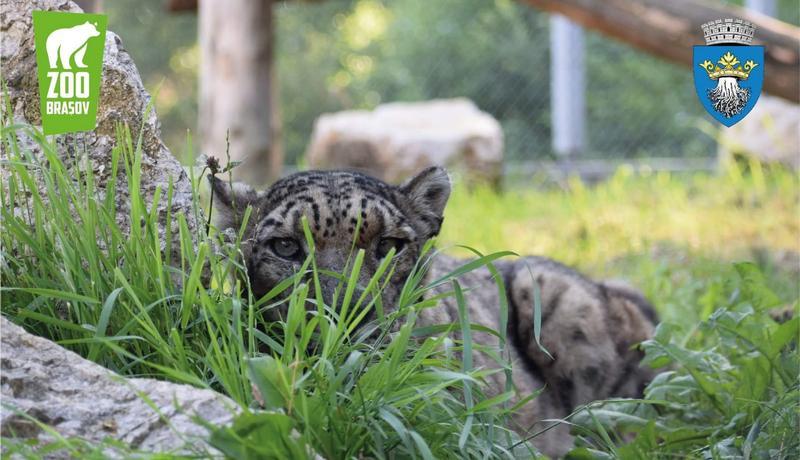 leopardul zapezii
